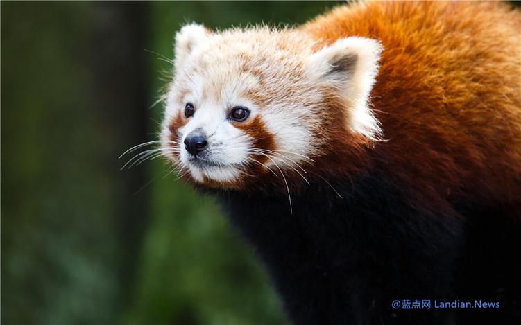 微软推出大熊猫和小熊猫免费主题包 快来将萌萌哒的熊猫设置为壁纸吧